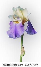 Panama Fling Tall Bearded iris (Iris x germanica Panama Fling). Image of flower isolated on white background