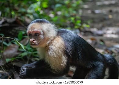 Panamanian white-faced capuchin at Cahuita National Park Costa Rica 2018