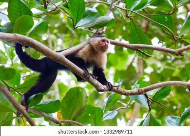 Panamanian white-faced capuchin, also known as the Panamanian white-headed capuchin or Central American white-faced capuchin, medium-sized monkey of the family Cebidae, subfamily Cebinae; Costa Rica