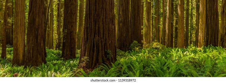 Panarmic view of the redwoods