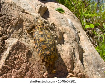 The Pancake or Flat Tortoise is an endemic chelonid found only in the rocky areas of Kenya and Tanzania and is famous for its ability to climb rock faces no other land tortoise could scale