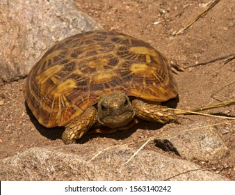 The Pancake or Flat Tortoise is endemic to the granite outcrop areas of East Africa. Their numbers are being greatly reduced in many areas by illegal collection for the world-wide pet trade