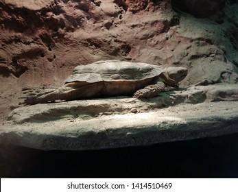 pancake tortoise bathing in sun lamp