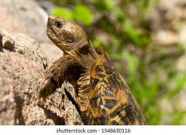 The Pancake Tortoise is an endemic chelonid found only in the rocky areas of Kenya and Tanzania and is famous for its ability to climb rock faces no other land tortoise could scale