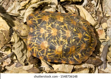 The Pancake Tortoise is an endemic chelonid found only in the rocky areas of Kenya and Tanzania and unusual as it has a flexible shell or carapace.