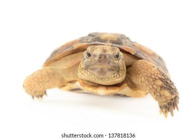 Pancake tortoise isolated on white background.