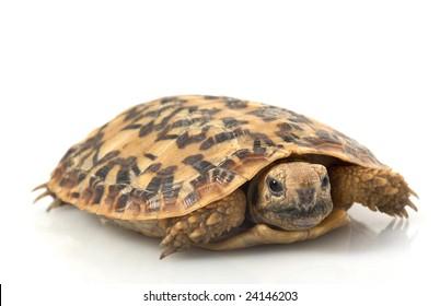 Pancake Tortoise (Malacochersus tornieri) isolated on white background.