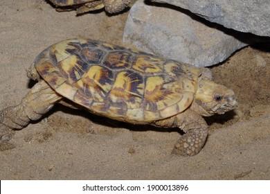 pancake tortoise (Malacochersus tornieri) in terrarium
