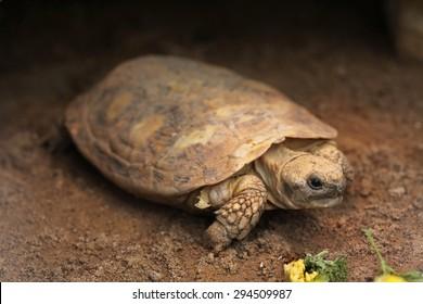 Pancake tortoise (Malacochersus tornieri). Wild life animal.