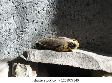 Pancake Tortoise on Rocks