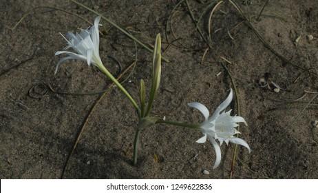 Pancratium maritimum or Sea daffodil in the Belek town/Antalya-TURKEY