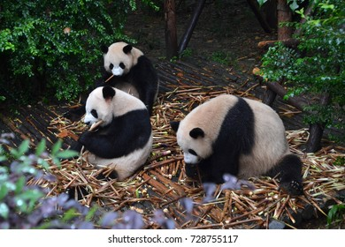 Panda bear: arguably the icon of Chengdu, or even Sichuan Province. Though considered as carnivore, yet it eats mostly bamboo (over 99% of its diet). Pic was taken in Chengdu -September 2017.