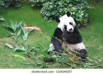 the panda bear at China hong kong