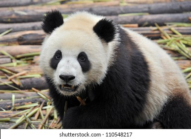 Panda bear close-up