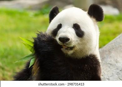 Panda bear eating bamboo