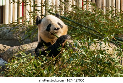 Panda bear eating bamboo. The panda's main food is bamboo, although it also feeds on fruits, small mammals, fish, and insects. He is a good climber, although he is rarely seen in trees.