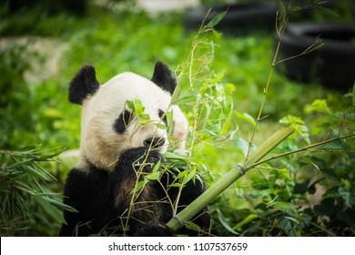 Panda Bear eating bamboo shoot