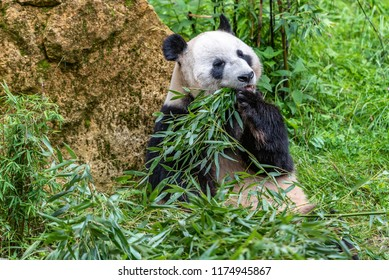 Panda bear is eating bambu