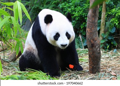 Panda Bear eating carrot snack