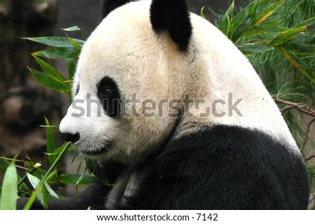 Panda Bear Enjoying Day Stock Photo (Edit Now) 7142 - Shutterstock 05a61746859