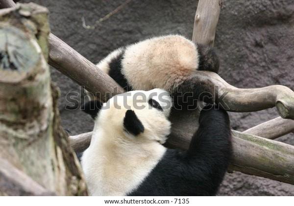 panda bear enjoying the day