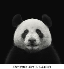 Panda bear face isolated on black background