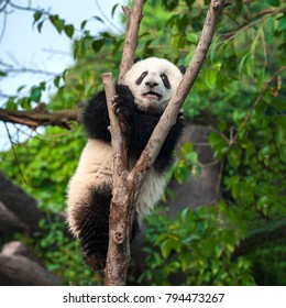 Panda bear in forest in China