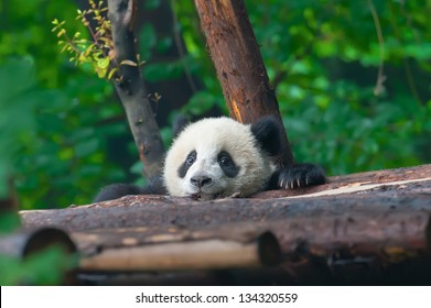 Panda bear head sticking out