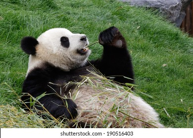 A panda bear on his back and eating bamboo