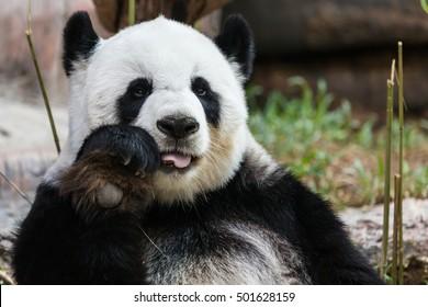 Panda bear one animal eating bamboo.