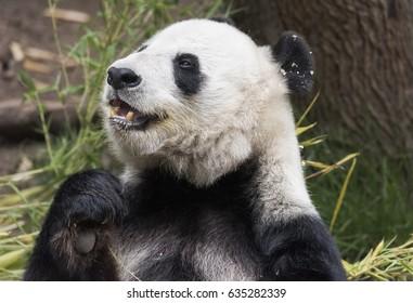 Panda Bear Portrait