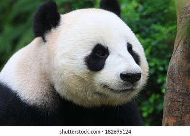 Panda Bear Posing Close up