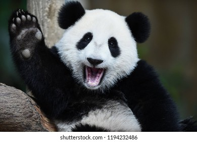 Panda Bear Sleeping on a Tree Branch, China Wildlife, Panda baby cub sitting in tree in China, A playful happy panda,Panda Bear enjoying his bamboo lunch, forest scenes, close up