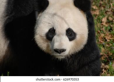 Panda bear with a very serious facial expression.