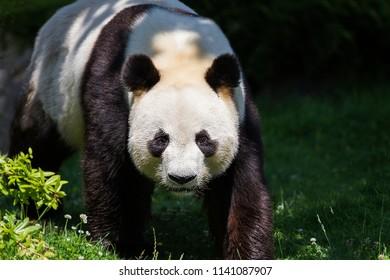 Panda Bear Yuan Zi