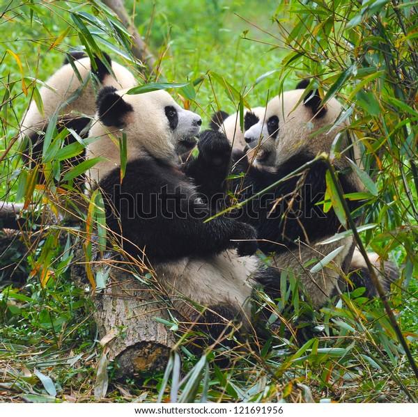 Panda bears eating together (front panda in focus, fellow pandas blurred)