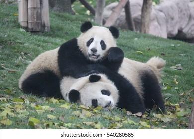 Panda in Chengdu Panda Base
