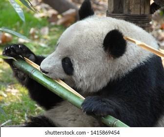 Fluffy Panda Images, Stock Photos & Vectors | Shutterstock