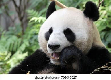 Panda chews bamboo