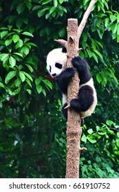 Panda, China, Chengdu, Panda Breeding Research