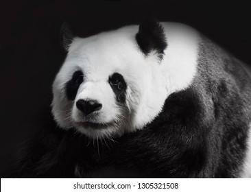 Panda crying,save animal and save the world concept