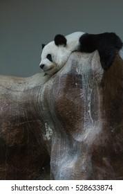 Panda cute model taking a nap on rock