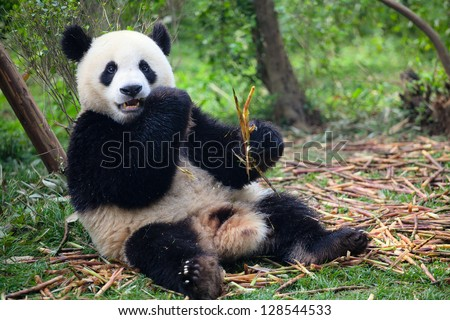 Panda eating bamboo in forest