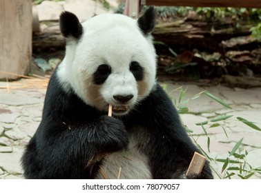 panda eating bamboo leaf in a zoo of thailand