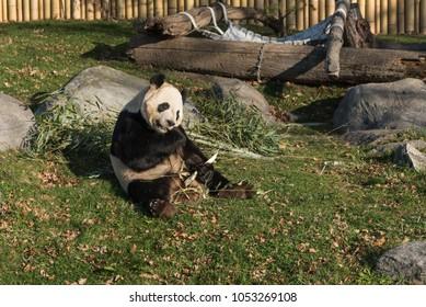 Panda eating bamboo in Toronto zoo, Ontario, Canada