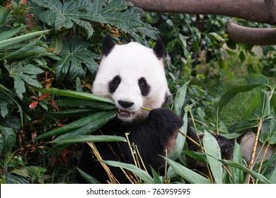 A panda eating its bamboos