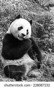 Panda feeding on a bamboo shoot