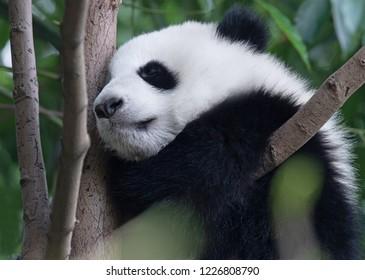 Panda giant baby sleeping on the tree