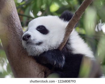 Panda giant baby sleeping on the tree