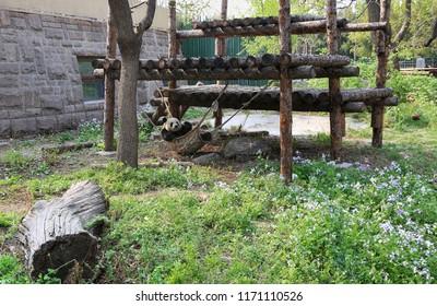 Panda in a hammock at the Beijing Zoo